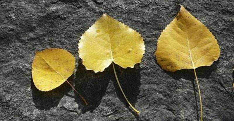 Les feuilles dorées de cette photo sont semblables, mais elles appartiennent en fait à des espèces d'arbres différentes.