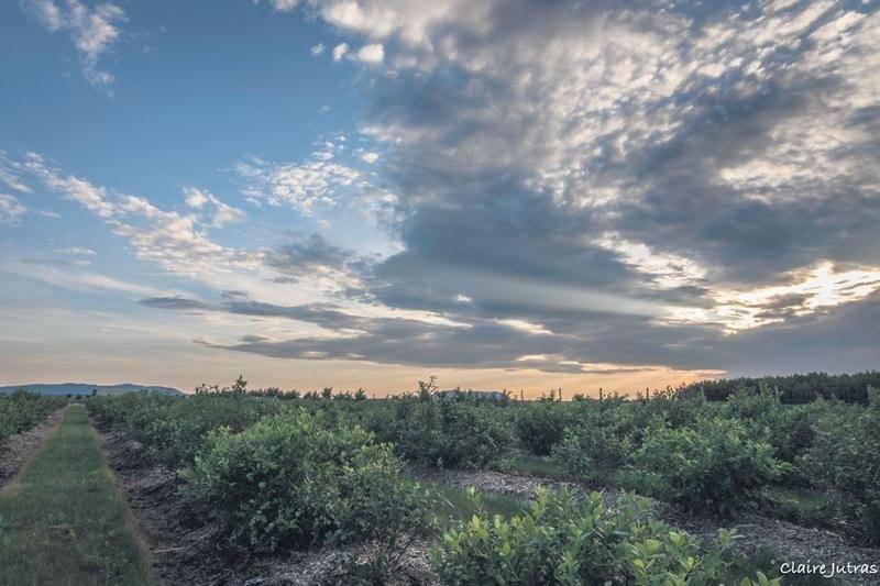 Les terres noires sont plus vulnérables face au vent et à l'eau. Ici, une culture pérenne, le bleuet, a été préférée aux cultures annuelles traditionnelles. En plus d'aider à contrôler les mauvaises herbes, le paillis et les sentiers gazonnés protègent le sol de l'érosion. Crédit : Claire Jutras