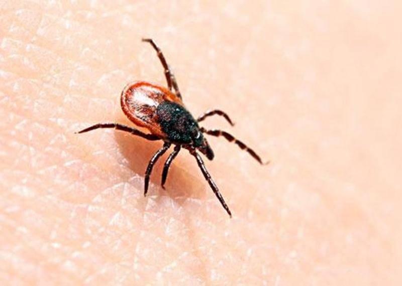 La maladie de Lyme est transmise aux humains par la piqûre des tiques à pattes noires infectées par la bactérie <em>Borrelia burgdorferi</em>.