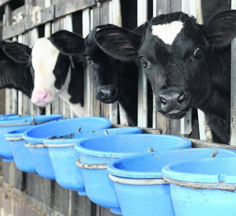 L'industrie du veau de lait se retrouve sous la loupe de la Financière agricole du Québec.  Photo iStock