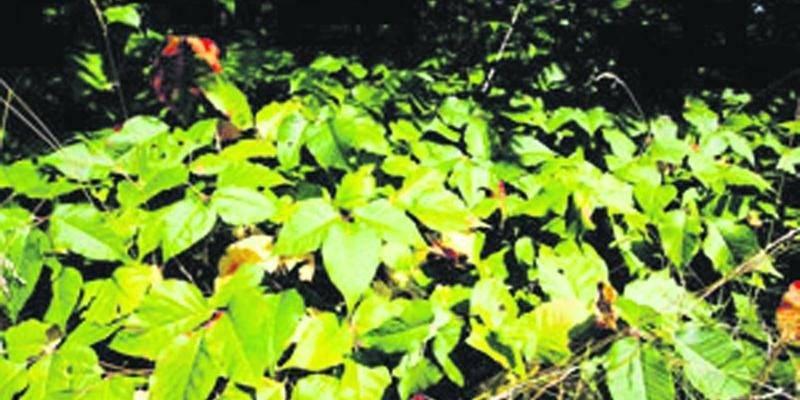 L'herbe à la puce (Rhus radicans L.) contient une sève vénéneuse qui provoque de sévères éruptions cutanées.