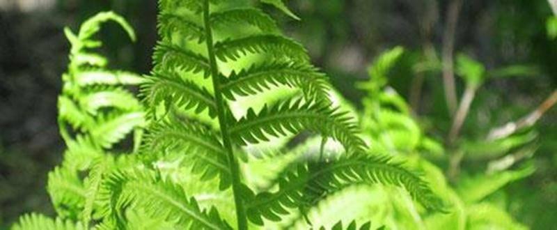 Les fougères sont des plantes sans fleurs, mais quand même superbes et majestueuses. Elles étaient là au temps des dinosaures, c'est dire comme elles sont fascinantes! Y en a-t-il plusieurs espèces au boisé des Douze? C'est ce que les participants exploreront au cours de la sortie du 21 juillet en compagnie de Jacques Kirouac. Point de rencontre : le stationnement de la rue Brouillette dès 9 h. Tarif : 3 $ (membres et 6 à 17 ans); 5 $ (adultes) ou 10 $ par famille. Inscription en écrivant à jkir
