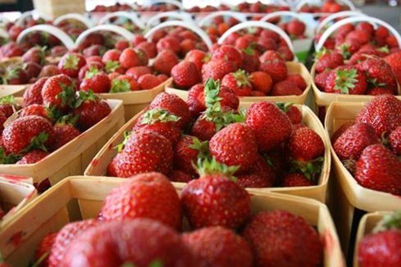 Les producteurs de fraises s'entendent pour dire que malgré les pluies du printemps et le gel de l'hiver, la récolte2011 devrait être haute en saveurs!
