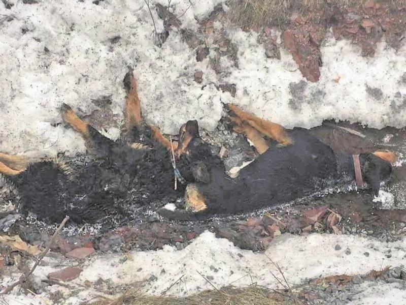 Les chiens Tonka et Yoshi, retrouvés dans un fossé à Saint-Valérien-de-Milton, portaient des marques de violence. Photo Courtoisie Facebook