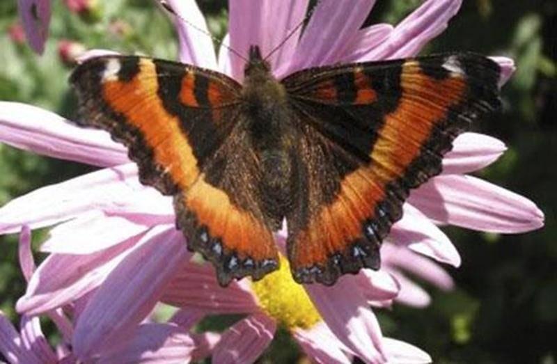 De nombreux papillons sont attirés par les milliers de fleurs et la belle biodiversité de la Réserve naturelle Boisé-des-Douze. Joignez-vous au groupe d'observateurs le dimanche 20 juillet. Apportez votre caméra. Point de rencontre : dès 9 h au stationnement de la rue Brouillette. Tarif : contribution volontaire et gratuité pour les membres. Inscription : jkirouac@sciencepourtous.qc.ca ou 450 768-6900. Informations et itinéraire sur boisedesdouze.org.