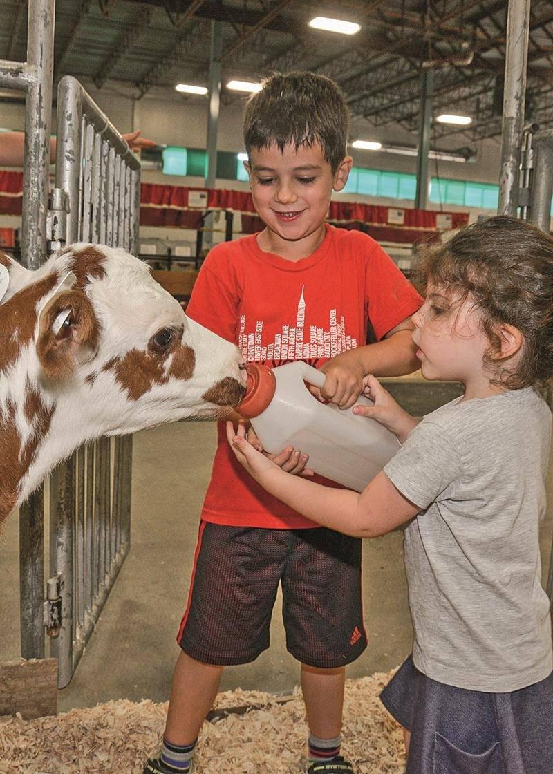 Pour la première fois à l'Expo, il est possible pour les enfants de nourrir des animaux de la ferme dans une pouponnière spécialement aménagée. Sur la photo, ce veau semble apprécier cette nouveauté.  Photo François Larivière | Le Courrier ©