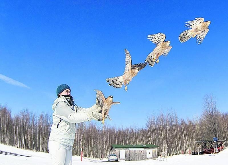 Après les soins, le repos et la réhabilitation, de 40 à 45 % des oiseaux de proie sont remis en liberté, selon la COP. Photo Simon Chaloux