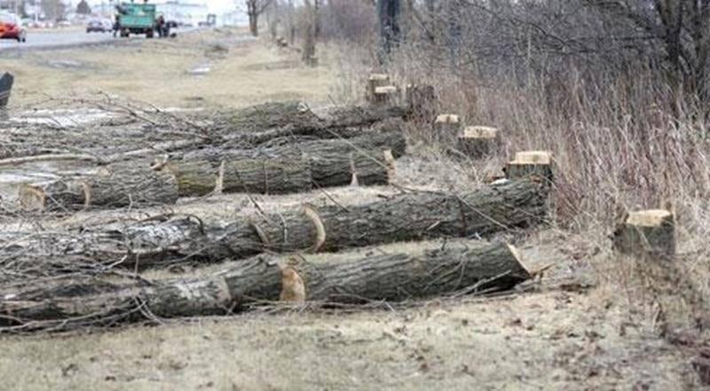 Des peupliers de Lombardie, tous morts de vieillesse, sont abattus ces jours-ci par les employés du Service des travaux publics de la Ville de Saint-Hyacinthe le long du boul. Laurier Est. Ces arbres âgés entre 25 et 30 ans - leur longévité est généralement de 50 ans - ne produisaient plus de feuilles au printemps. Sans doute étaient-ils atteints d'une maladie qui a abrégé leurs jours. En tout, 183 arbres morts seront coupés; ils seront éventuellement remplacés par d'autres essences, dont des ch