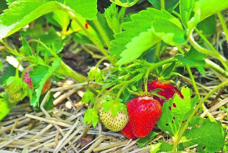 Pour les fraises, les rendements varient d'autour des moyennes à légèrement inférieurs à celles-ci, selon les secteurs. Dans l'ensemble, les rendements s'annoncent autour des moyennes pour les autres cultures, bien que certains champs soient affectés par le manque d'eau. De façon générale, c'est un bon début de saison pour les cultures. Photo François Larivière   Le Courrier ©