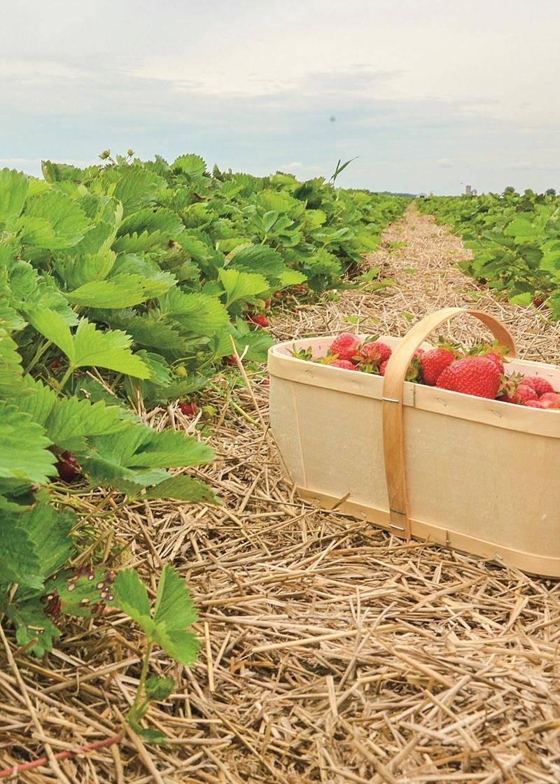 La saison des fraises a été écourtée d'une dizaine de jours en raison des pluies abondantes.  Photo François Larivière | Le Courrier ©
