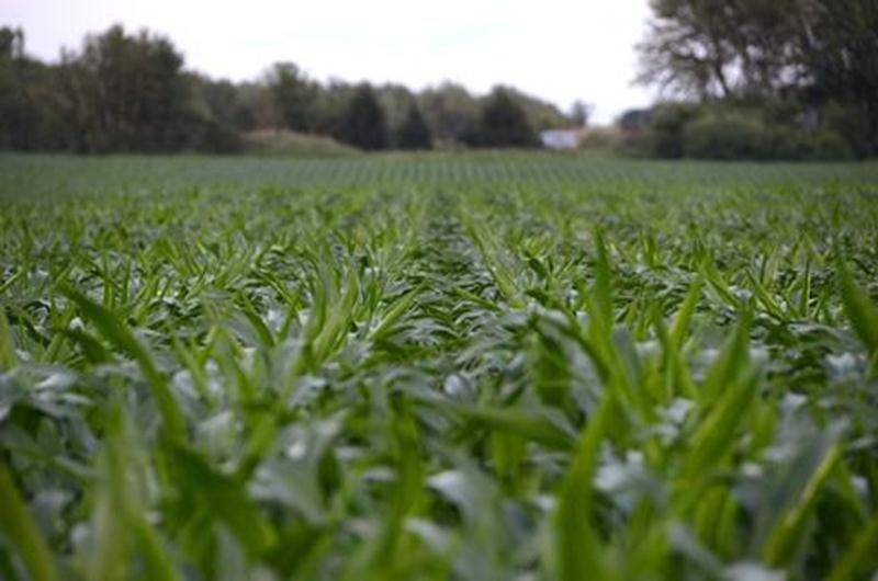 Si la vague de chaleur actuelle continue, la récolte 2011 de maïs sucré devrait satisfaire les plus gourmands d'entre nous.