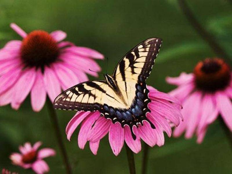 De nombreux papillons sont attirés par les milliers de fleurs et la belle biodiversité de la Réserve naturelle Boisé-des-Douze. Joignez-vous au groupe d'observateurs pour les admirer et les identifier. Apportez votre caméra. Point de rencontre : dès 9 h au stationnement de la rue Brouillette. Tarif : contribution volontaire et gratuité pour les membres. Inscription : jkirouac@sciencepourtous.qc.ca ou 450 768-6900. Informations et itinéraire sur boisedesdouze.org.