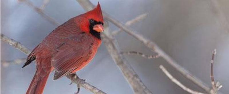 Les insectivores ailés sont de retour à la réserve naturelle Boisé-des-Douze! Nous vous proposons deux rendez-vous d'environ 90 minutes pour venir les observer.Le samedi 10 mai dès 7 h en compagnie de Rémi Gauvin et le dimanche 11 mai dès 7 h en compagnie de Fernand Martel. Pour inscription et renseignement, communiquez avec lebrita@cgocable.ca ou composez le 450 773-9917. Sur la photo, un Cardinal.
