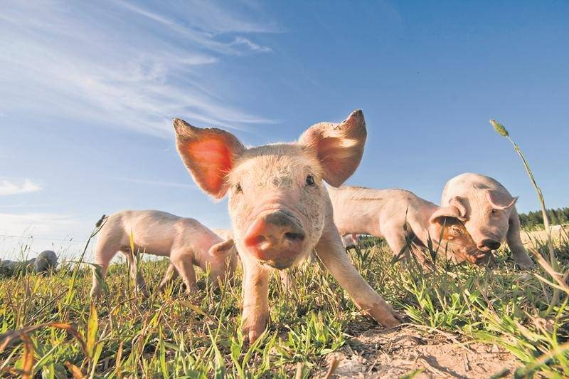 Un signal positif pour la production porcine et la région