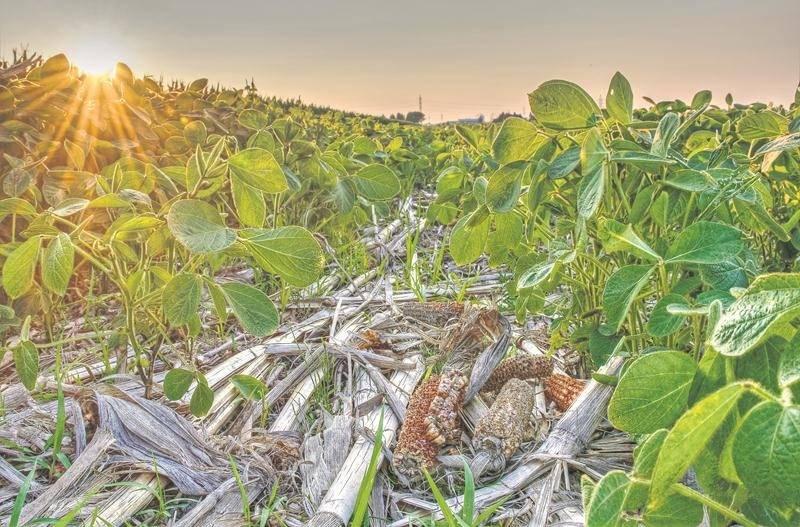 Le semis direct consiste à semer directement dans les résidus de culture de l'année précédente. Cette approche préconisée par les agriculteurs et agricultrices soucieux de préserver le sol, limite le plus possible les interventions mécaniques. Le soya se pointe à travers les résidus de maïs qui eux serviront à alimenter les microorganismes bénéfiques du sol. Crédit : Nathalie Roy