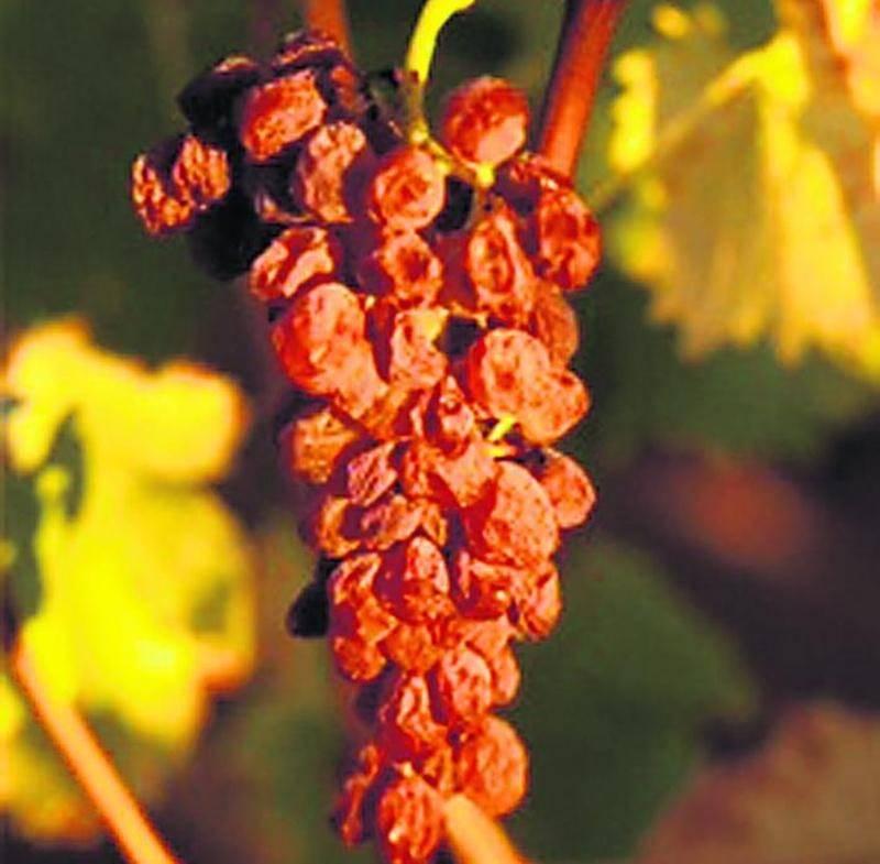 Muscat à petits grains passerillé (séché) sur pied, qui servira à l'élaboration du Vin de Constance.