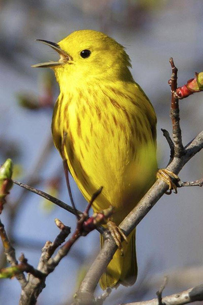 Sur la photo : une Paruline jaune