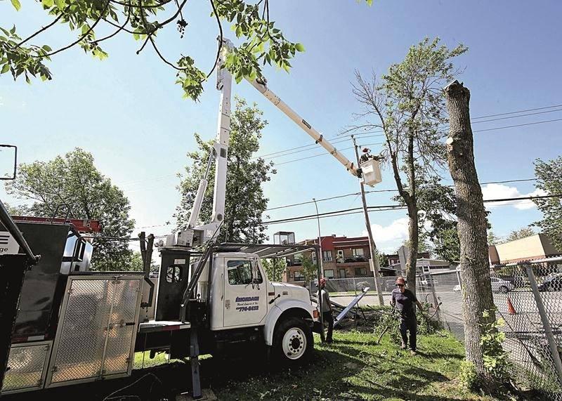 Des opérations d'abattage de frênes touchés par l'agrile ont commencé à Saint-Hyacinthe, mais elles risquent de se multiplier dans les prochaines années. Photo Robert Gosselin   Le Courrier ©