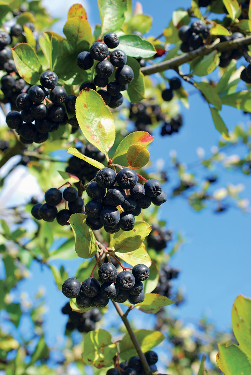 big branch of ripe black chokeberry fruits in the garden